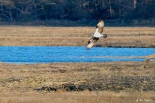 Osprey Annie Squam Lobstaland copyright Kim Smith - 4 of 9