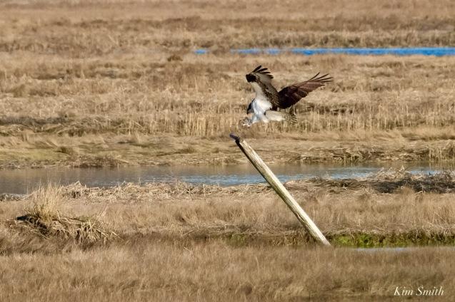 Osprey Annie Squam Lobstaland copyright Kim Smith - 5 of 9