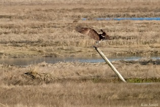 Osprey Annie Squam Lobstaland copyright Kim Smith - 6 of 9