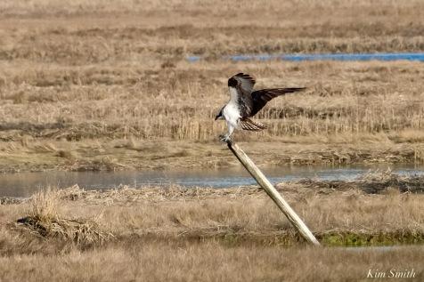 Osprey Annie Squam Lobstaland copyright Kim Smith - 7 of 9