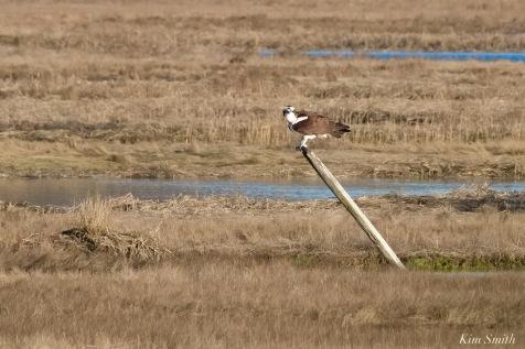 Osprey Annie Squam Lobstaland copyright Kim Smith - 8 of 9