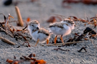 piping-plover-chicks-3-day-old-gloucester-ma-copyright-kim-smith-02-