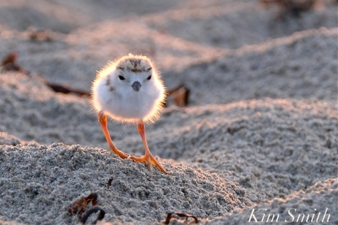 piping-plover-chicks-3-day-old-gloucester-ma-copyright-kim-smith-05