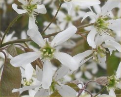 Amelanchier_canadensis_flower