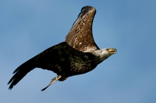 Bald Eagle Vs Osprey copyright Kim Smith - 2 of 6