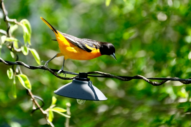 Baltimore Oriole Cape Ann Massachusetts copyright Kim Smith - 11 of 18