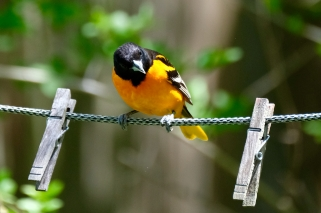 Baltimore Oriole Cape Ann Massachusetts copyright Kim Smith - 12 of 18