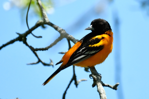 Baltimore Oriole Cape Ann Massachusetts copyright Kim Smith - 3 of 18