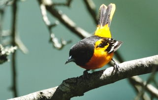 Baltimore Oriole Cape Ann Massachusetts copyright Kim Smith - 4 of 18