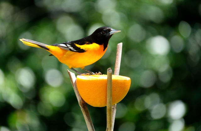 Baltimore Oriole Cape Ann Massachusetts copyright Kim Smith - 5 of 18