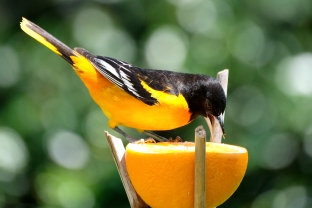 Baltimore Oriole Cape Ann Massachusetts copyright Kim Smith - 9 of 18