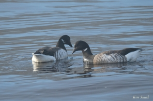 Brant Geese Gloucester Fog Lifting copyright Kim Smith - 12 of 23