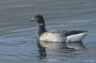 Brant Goose Gloucester Fog Lifting copyright Kim Smith - 13 of 23