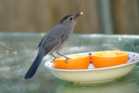 Catbird Baltimore Oriole Cape Ann Massachusetts copyright Kim Smith - 2 of 18