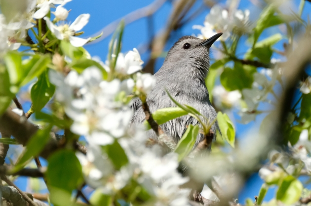 Catbird Pear Blossoms Cape Ann Massachusetts copyright Kim Smith - 15 of 18