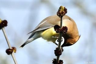 Cedar Waxwings Gloucester Massachusetts copyright Kim Smith - 2 of 9