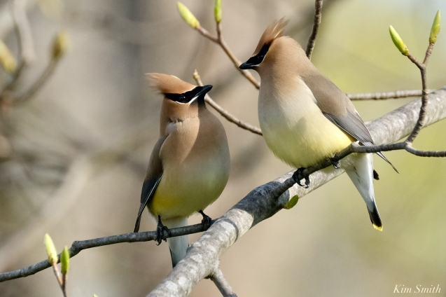 Cedar Waxwings Gloucester Massachusetts copyright Kim Smith - 8 of 9