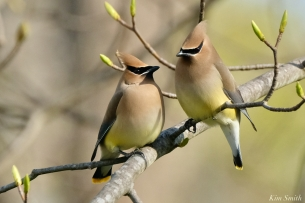 Cedar Waxwings Gloucester Massachusetts copyright Kim Smith - 9 of 9