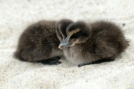 Common Eider Duckling Rescue copyright Kim Smith - 9 of 11