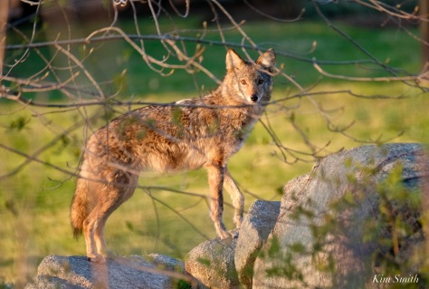 Coyote in the morning sun copyright Kim Smith