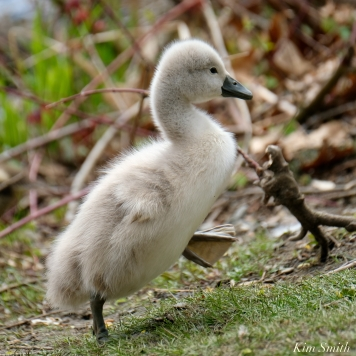 Cygnets copyright Kim Smith - 11 of 28