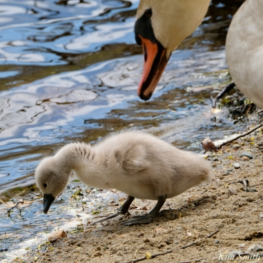 Cygnets copyright Kim Smith - 13 of 28