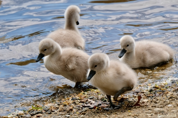 Cygnets copyright Kim Smith - 14 of 28