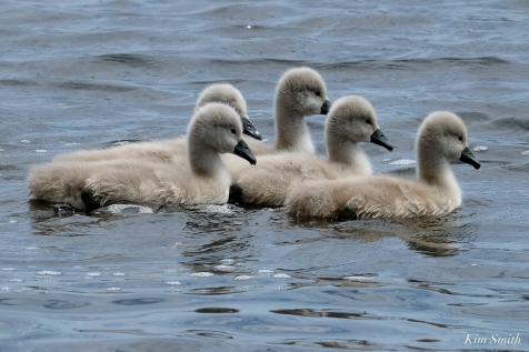 Cygnets copyright Kim Smith - 18 of 28
