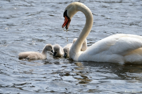 Cygnets copyright Kim Smith - 22 of 28