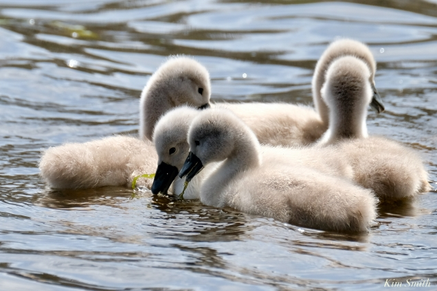 Cygnets copyright Kim Smith - 24 of 28