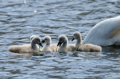 Cygnets copyright Kim Smith - 28 of 28