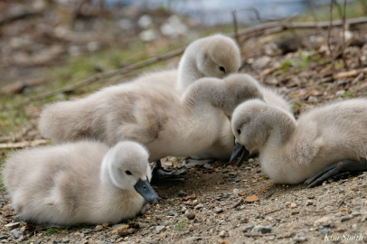Cygnets copyright Kim Smith - 8 of 28