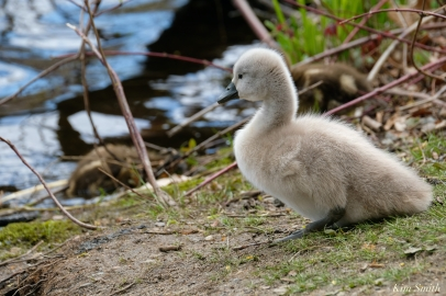 Cygnets copyright Kim Smith - 9 of 28