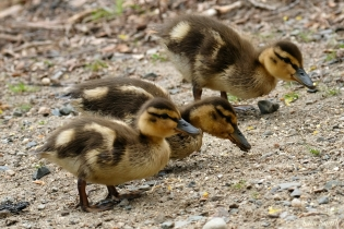 Ducklings copyright Kim Smith - 20 of 28