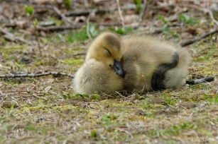 Gosling copyright Kim Smith - 1 of 28