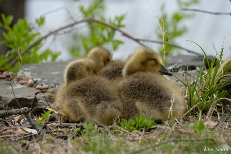 Goslings copyright Kim Smith - 3 of 28