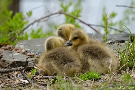 Goslings copyright Kim Smith - 4 of 28