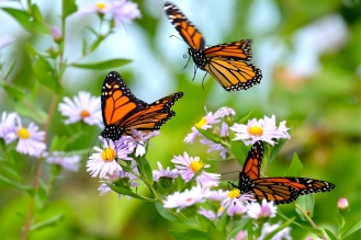 monarch-butterflies-and-asters-300-dpi-8-x-12-copyright-kim-smith
