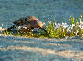 Northern Flicker male copyright Kim Smith - 1 of 6