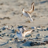 Piping Plover Smackdown copyright Kim Smithjpeg