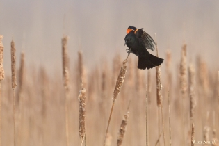 Red-winged Blackbird eastern Point Gloucester Fog Lifting copyright Kim Smith - 15 of 23