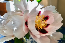 Rock's Peony Paeonia rockii copyright Kim Smith - 3 of 3