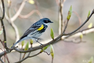 Yellow-rumped Warbler copyright Kim Smith