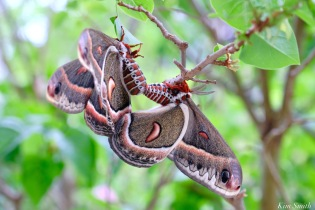 Cecropia Moth Mating Giant Silk Moth copyright Kim Smith - 18 of 22