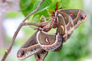 Cecropia Moth Mating Giant Silk Moth copyright Kim Smith - 19 of 22