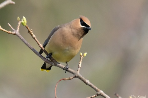 Cedar Waxwing Spring 2020 copyright Kim Smith - 21 of 68