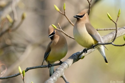 Cedar Waxwing Spring 2020 copyright Kim Smith - 22 of 68