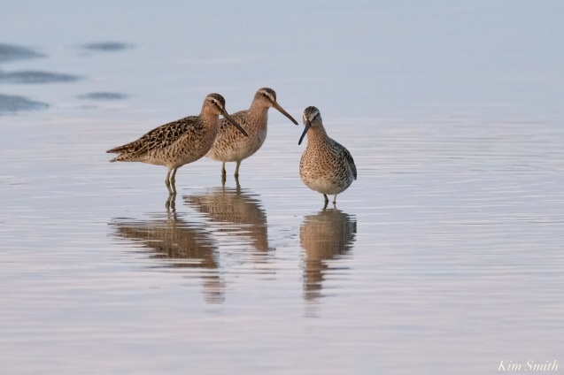 Dowitchers Spring 2020 copyright Kim Smith - 35 of 68