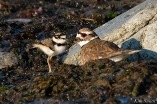 Killdeer Plover chick and adult Spring 2020 copyright Kim Smith - 57 of 68