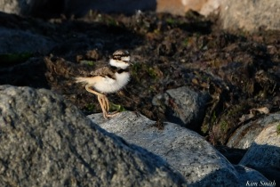 Killdeer Plover chick Spring 2020 copyright Kim Smith - 59 of 68